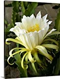 Blossom of the Climbing Cactus, (Hylocereus), a cactus fruit grown in Mexico Gallery-Wrapped Canvas