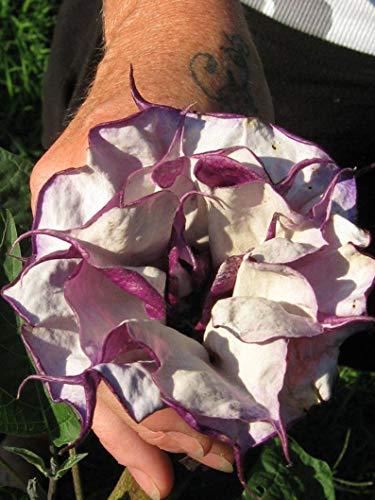 (Yunakesa 25 Purple Angel Trumpet Seeds-1058)