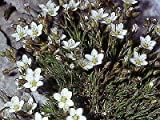 Minuartia Verna 250 Seeds Need More? Ask