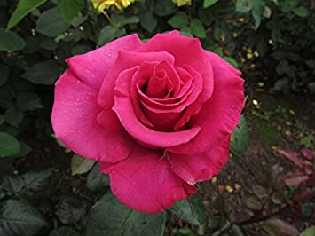 Hot princess 4lt potted hybrid tea garden rose bush stunning hot princess 4lt potted hybrid tea garden rose bush stunning large deep vivid pink mightylinksfo