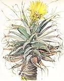 Leuchtenbergia Principis Cacti Colour Print
