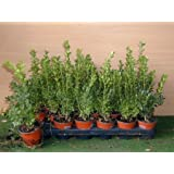 Buchsbaum Buxus sempervirens arborescens 15 cm hoch mit Topfballen 20 Stck.