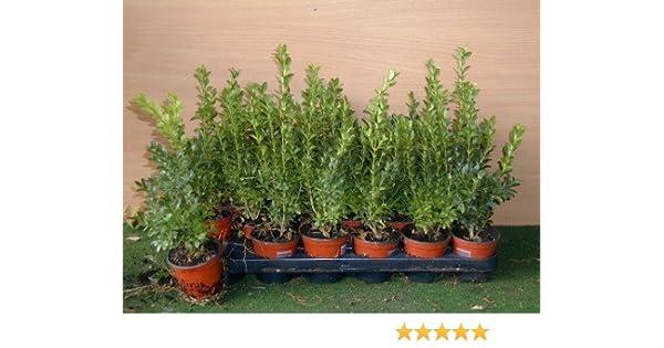 Boje Buxus sempervirens arborescens 15cm de alto con Cubierta ...