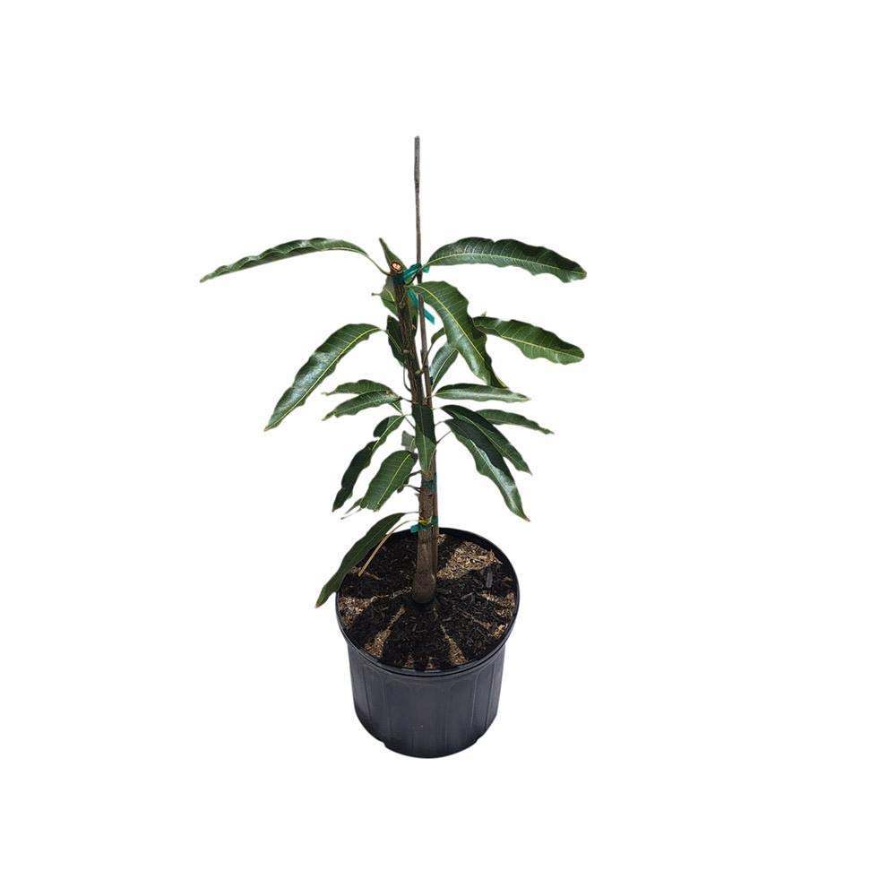 Mallika Dwarf Mango Tree Cold Hardy, Grafted, 3 Gal Container from Florida by Everglades Farm