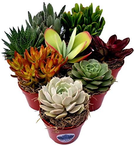 (Fat Plants San Diego Live Succulent Plant Variety Collection)