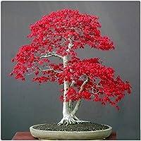 AUTFIT acero 20 semi 4 tipi: acero verde, acero triangolo, acero rosso giapponese, acero rosso America semi per bonsai, balcone, giardino
