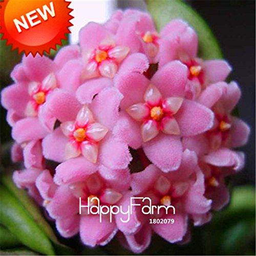 pot Carnosa semences de fleurs Plantes de jardin Rose Orchid Seeds 100 Pcs ChinaMarket Hoya Hoya Graines