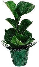 buying tip a few dwarf fig - Fiddle Leaf Fig Tree Care