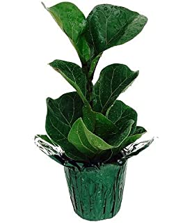 Amazon.com : Hirt\'s Fiddleleaf Fig Tree - Ficus - Great Indoor ...
