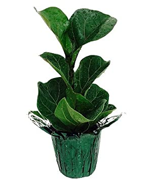 hirts fiddleleaf fig tree ficus great indoor tree 4 potdecorative
