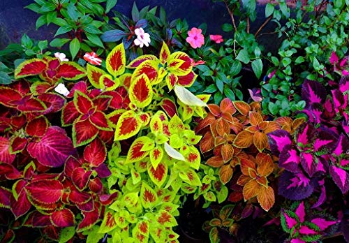 Annual Coleus (Coleus Blumei Seeds Mix Flowers Beautiful for Planting Non GMO 100 Seeds)