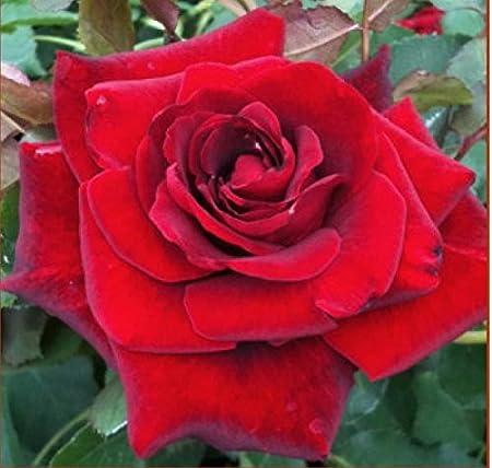 """Amazon.com : Climbing Rose Plant, Don Juan, Red, Nice 12-18"""" Tall ..."""