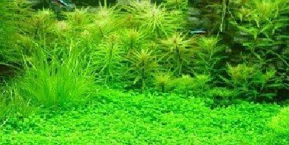 Plantas Acuario Decoración semillas de césped Plantas Semillas 200 ceeds: Amazon.es: Hogar