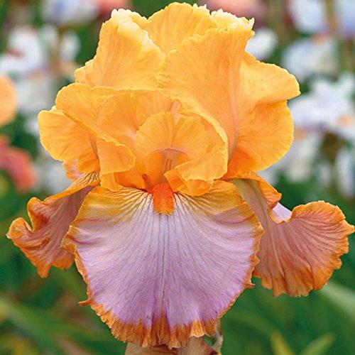 Iris Flower Bulbs - 6