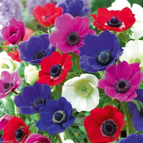 20 Anemone Bulbs - Mixed colors of pink, purple, white, fushia and red, Size 6/7 by wbut2023