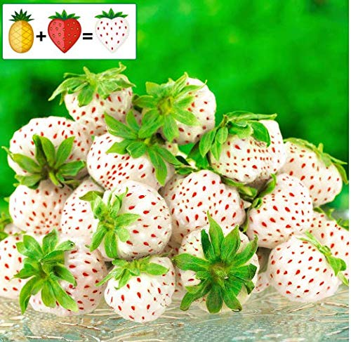 (Caiuet Seed house - 50 Organic Strawberry Plant Pineapple-Strawberry Pineberry, Sugar-Sweet Fruit Seeds Rarities Large-fruited Strawberry Climbing Plants Hardy Perennial for Balcony and Garden)