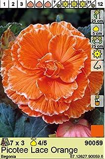 zweifarbig wei/ß KEBOL Blumenzwiebel Begonie rosa Hingucker im Beet 2er Pack