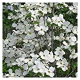White Flowering Dogwood Tree - Healthy Established Plant - Flowering - 1 Gallon Potted - 1 Plant by Growers Solution