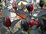 10 BLACK CUBAN PEPPER Seeds, Capsicum annuumr --Organically Grown,Very Rare