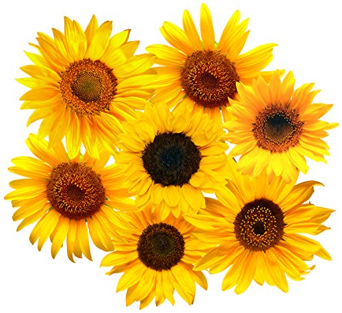 StikArt Removable Sunflowers Wall Decals Printed on Waterproof Canvas (45 Flowers) (Stickers Wall Sunflower)