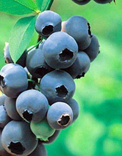 Patriot Blueberry Plant - Edible Landscape Plant - Large Berries - 4'' Pot