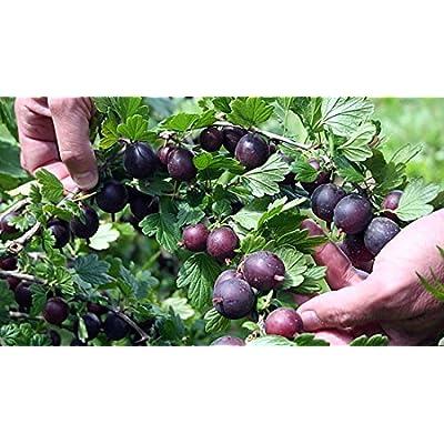 """Black Velvet Gooseberry Bush - Eat Fresh or Baked - 2.5"""" Pot : Garden & Outdoor"""