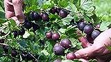 """Black Velvet Gooseberry Bush - Eat Fresh or Baked - 2.5"""" Pot"""
