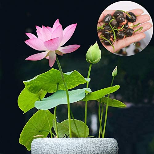 Lotus Flower Seeds for Home Planting Ornamental, Mixed Pink & Red Flower, Can Purify Water and Air, Aquatic Plant for Courtyard, Garden, Hotel, Goldfish Pond, Water Lily Seeds