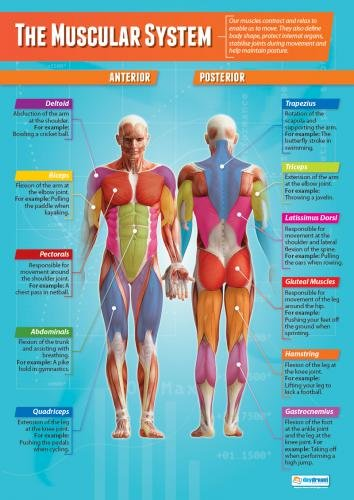 essays on the muscular system The muscular system 1 health and medicine essay.
