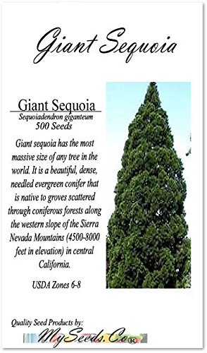 BIG PACK (500) Giant Sequoia, Sequoiadendron giganteum Tree Seeds - FAST GROWING BONSAI Christmas Tree Evergreen - LIVES 2,000-3,000 YEARS - By MySeeds.Co (Giant Sequoia BIG PACK 500 Seeds)