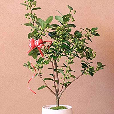 100pcs Winterberry Holly Seed Ilex Verticillata Shrub Seeds Evergreen Shrub with Glossy Green Foliage Ornamental for Garden Balcony/Patio : Garden & Outdoor