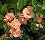 Cameo Flowering Quince (chaenomeles) - Live Plant - Trade Gallon Pot
