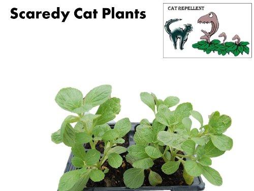 Scaredy Cat Plants-Plectranthus caninus-Coleus canina-Natural Cat Deterrent