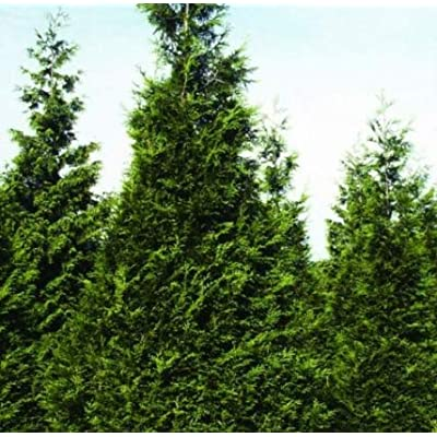 Cheap Fresh Thuja Plicata Western Arborvitae Seeds Get 10 Seeds Easy Grow #GRG01YN : Garden & Outdoor