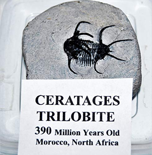 Ceratages Trilobite Fossil Morocco 390 Million Years Old #14331 13o by Fossils, Meteorites, & More (Image #4)