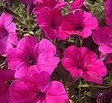 100 Pcs/bag Magenta Garden Petunia Potted Flowers Seed DIY Home Flowering Plants Chinese Bonsai Seeds