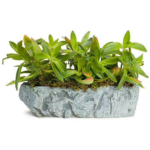 Natural Elements Rock Planter (Trough)  Realistic woodland-themed with intricate stone detail + Fiber Soil + moss mulch. Grow small succulents, cactus, African Violets. Striking in any dcor.