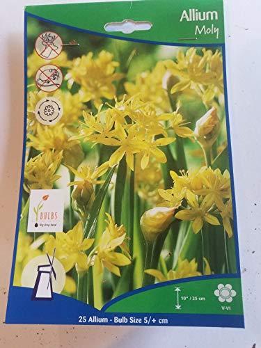Shoopy Star Moly Allium amarillo - 25 Bulbos - cebolla ornamental - 5+ bombillas cm