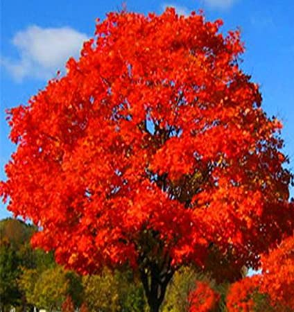 Amazon Com Red Oak Starter Potted Plant 6 12 Tall Great For Bonsai Or Specimen Plant Shown In Picture Is Fall Mature Speciment Garden Outdoor