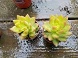 """Sedum Adolphii 2.5"""" pot succulent plant echeveria"""