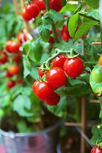 tomatoes indoors - 8