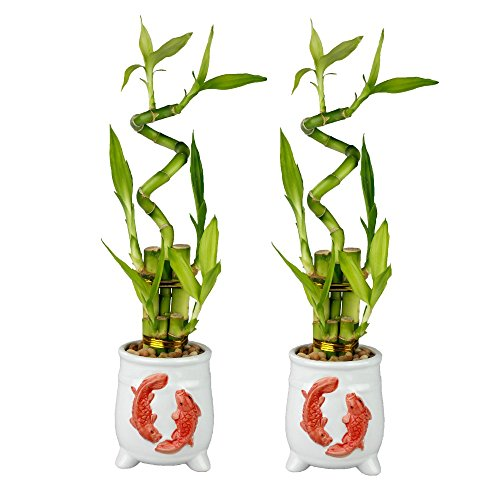 Set of Lucky Bamboo Five Stalk with Spiral Arrangements with White Ceramic Koi Standing Planters (Set of 2) (Powerful Arrangements)