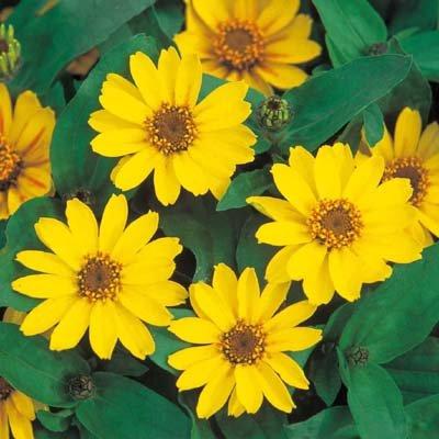 Amazon zinnia profusion yellow golden yellow flowers zinnia profusion yellow golden yellow flowers flower seeds 250 seeds mightylinksfo