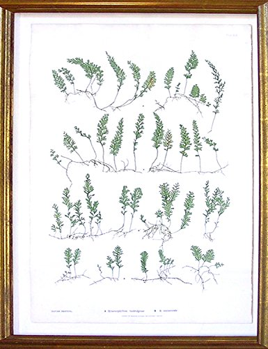 Plate 49 - Hymenophyllum tunbridgense, H.unilaterale (pressed nature print of ferns)