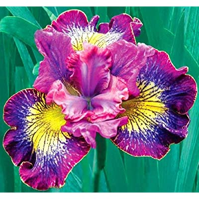 How Audacious Siberian Iris Root, Bulb, Great for any Garden, Great as a Houseplant : Garden & Outdoor