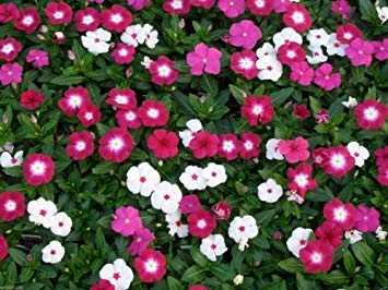 1000 DWARF LITTLE MIX Periwinkle (Vinca Rosea Dwarf Little Mix) Flowers Seeds