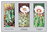 "Buyenlarge 0-587-10006-0-P1827 ""Echinocactus Ingens"" Paper Poster, 18"" x 27"""