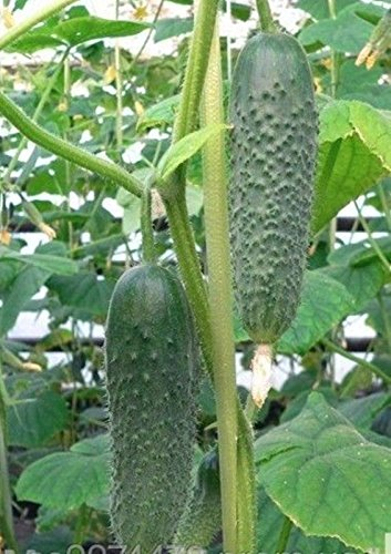 seeds-cucumber-mikos-f1-russian-self-pollinating-hybrid-variety