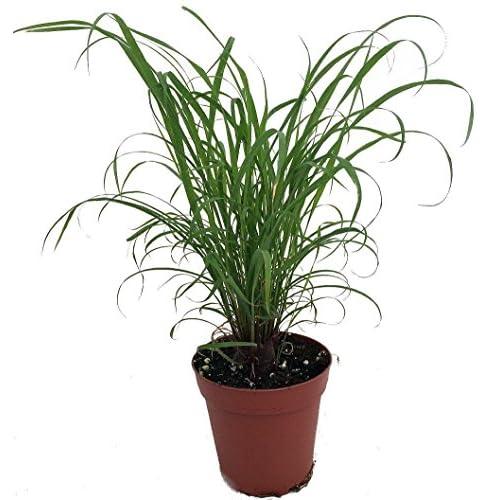 "Citronella Grass Plant - ഇഞ്ചിപ്പുല്ല് - Cymbopogon - Repels Mosquitos - 4"" Pot supplier"