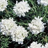 Armeria - Maritima Alba - 50 Seeds